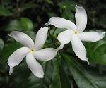 white tagar flowers