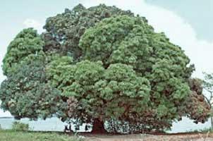 आठवणीतला आम्रवृक्ष – आंब्यांनी भारलेला