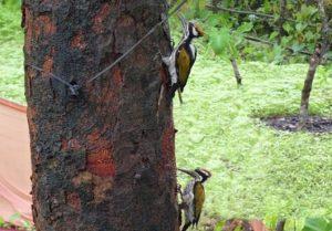 Sutar pakshi - Woodpecker