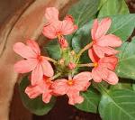 Aboli flowers