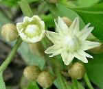 Bakul flowers