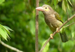 bird cherry guest bird