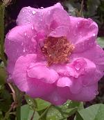 Gulab flowers