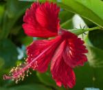 Jasvandi flowers