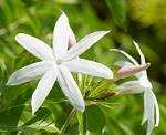Jui flowers