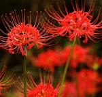Kankar flowers