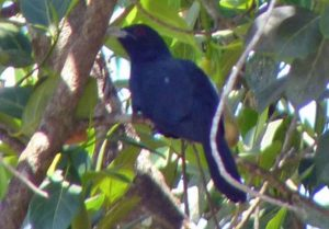 kokila -my-gardning - Cuckoo Bird