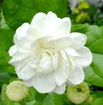 Mogara flowers