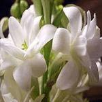 Nishigandha flowers