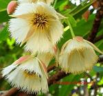 Rudraksha flowers