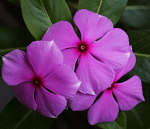 Sadafuli flowers