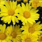 Shevanti flowers