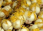 Surang flowers