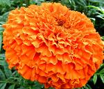 Zendu flowers