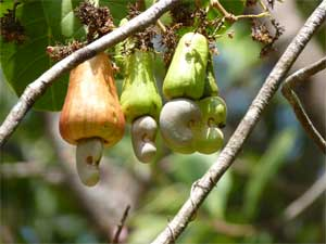 cashew fruits - malvani-days