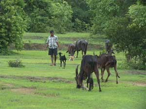herdsman-malvani-days
