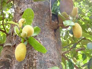 phanas - jackfruit