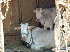 resting-cows-malvani-days