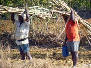 preparations for sugarcane cultivation