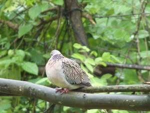 bird that mostly found in villages